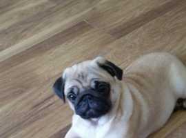 Fawn Pug Puppy