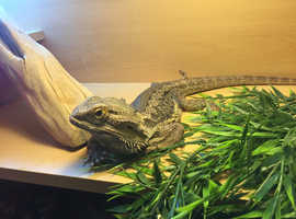 SOLD!!!!!Lovely friendly bearded dragon