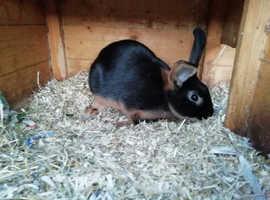 11 Week Old Buck - Black/ Tan Colour - Mixed Breed