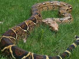Gorgeous Red Tail Boa Constrictor 7FT friendly with enclosure
