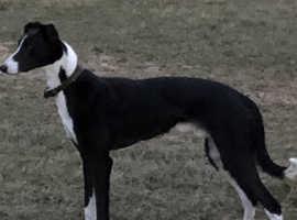 Lurcher stud dog Collie/greyhound