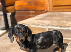 Dachshund girl for sale