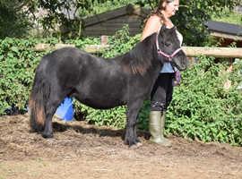 Registered St Shetland Pony