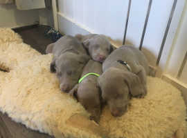 Weimaraner puppy's for sale girls and boys