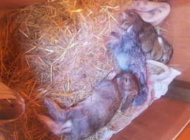 Dwarf Lop Rabbits ready 5th August