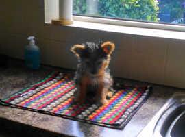 Cute little Shorkie terrier