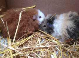 Baby guinea Pigs - DN5