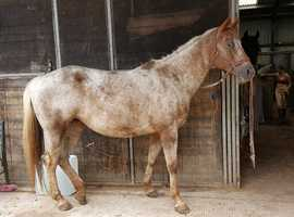 Registered Chestnut Varnish Appaloosa x Quarter Horse Broodmare