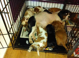 Beautiful cavalier King Charles spaniel pups