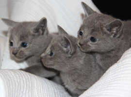 Gccf RUSSIAN BLUES, full injections, micro chipped, parents available to view.