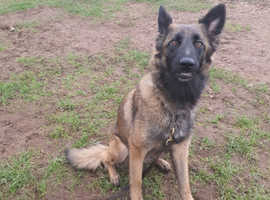 Fantastic family pets and Protection dog available
