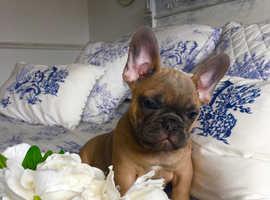 Stunning short n stocky French bulldogs