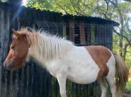 Beautiful reg shetland mare