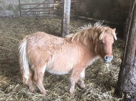 Red-dun Registered Miniature Shetland Filly Foal