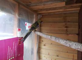 Adult Rosella avairy bird
