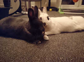 Two female rabbits NEED TO STAY TOGETHER