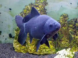 Large black Goldfish