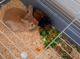For sale female rabbit with cage
