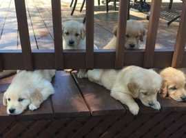 Exceptional Pure Bred Golden Retriver Puppies