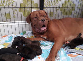 Cane corso Italian mastiff x french mastiff