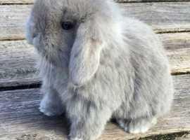 Selling 2 mini lob bunnies