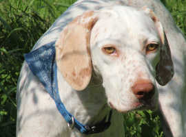 Pointer, Daisy, 3 years Old