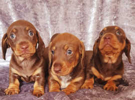 miniature dachshund 3 chocolate girl