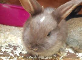 Minilop cross tan rabbit babies