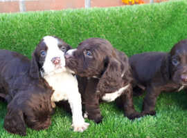 Cocker spaniel puppys for sale