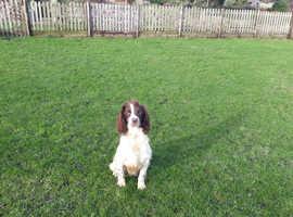 English Springer Spaniel Dog Pup