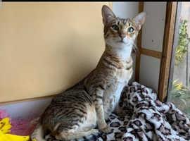 2 year old female savannah cat Active