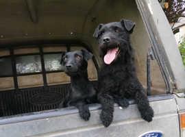Beautiful Litter of Patterdale Pups
