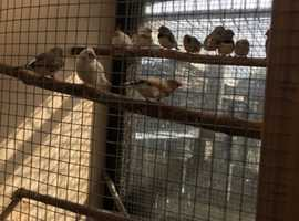 Zebra finches varies colours for sale