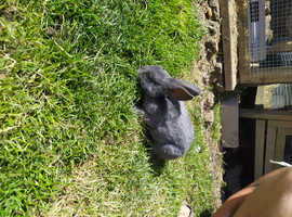 Mini rex bunnies looking for a new home