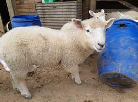 5 dorset x weaned ewe lambs