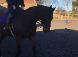 Lovely all rounder for sale