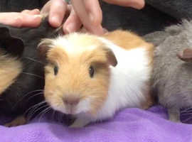 Rehome three guinea pigs