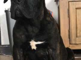Outstanding Cane corso puppies