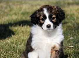 WANTED. Puppy Shetland sheepdog  (sheltie)