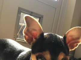 Bella - 24 week old Puppy