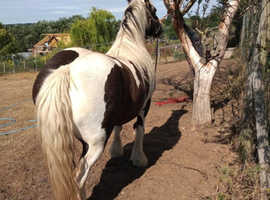 aprox 14.1h heavey weight cob mare