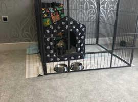 Max- male pug puppy