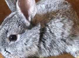 Mini lops x Netherland dwarf rabbits