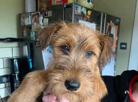 Kc Irish Terrier