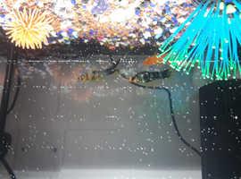Male Swordtail fishes assortment colours for sale £2.20 each
