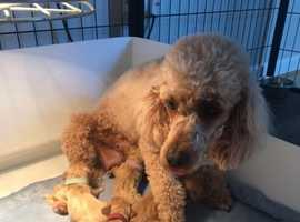Cavapoo puppies from health tested parents
