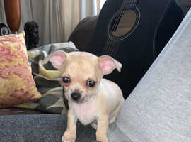 3 Male chihuahua puppies for sale