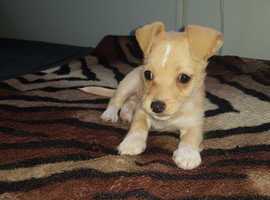 Lovely 11 week old  jack russell cross chihuahua puppy looking for a new forever home.