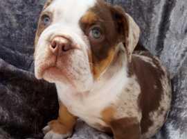 Olde tyme english bulldog