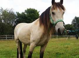 Mum and daughter sharer horse for sale/loan wanted